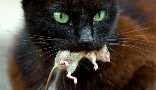 proie-chat