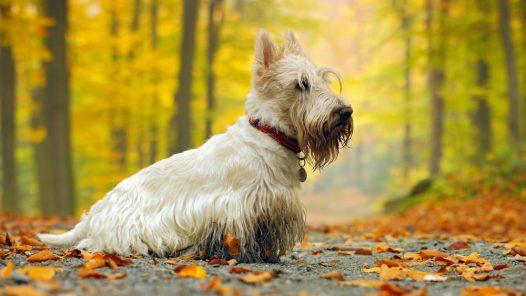 toilettage de son Scottish terrier