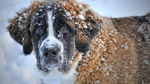 prendre soin de son chien en hiver